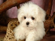 maltese-puppy-hd-wallpaper.jpg (630×470)