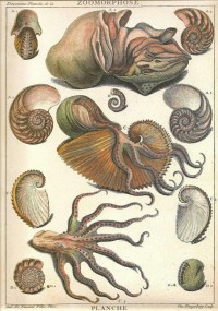 SEA SHELLS Octopus Squid Print Art 2009 by NaturalistCollection