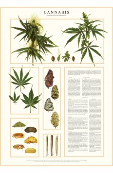 CANNABIS – a botanical guide on