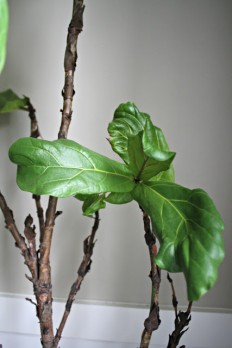 How to not kill your fiddle leaf plant from Thrifty Decor Chick
