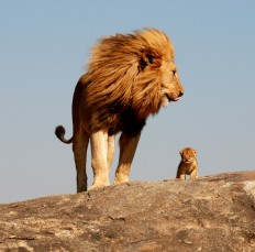 crop-lion-and-cub.jpg (JPEG Image, 740x731 pixels)