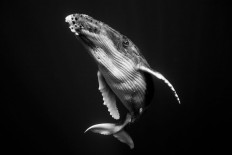Giants: A Black and White Series Captures the Complexity of the Humpback Whale | Colossal