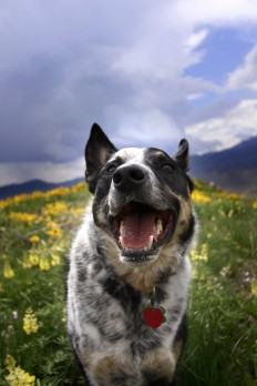 Free Images : nature, smile, dogs, wildflowers, vertebrate, australian cattle dog, dog like mammal, dog breed group 3168x4752 - - 1366001 - Free stock photos - PxHere