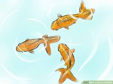 How to Breed Goldfish: 14 Steps (with Pictures) - wikiHow