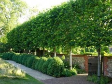 Pleached Hornbeam trees - Pleaching is the weaving branches of multiple trees together for privacy, wind & sound block. Best trees for pleaching ar… | Pinterest