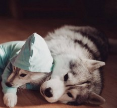 Adorable Huskies Photo with Human Clothes by Erica Tcogoeva on Inspirationde