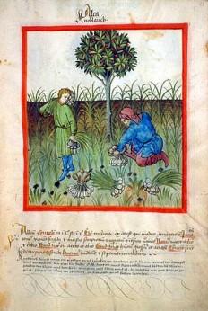 Tacuinum sanitatis-garlic - Tacuinum Sanitatis - Wikipedia