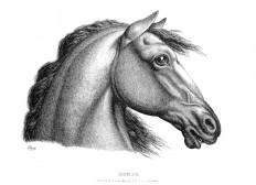 horse-profile-1600.jpg (1600×1162)