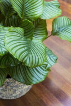 Gardening 101: Prayer Plants - Gardenista