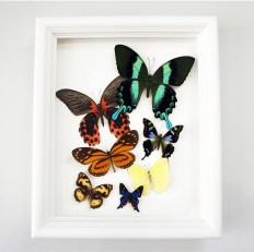 Real Framed Butterfly Taxidermy Butterfly Display Kitchen