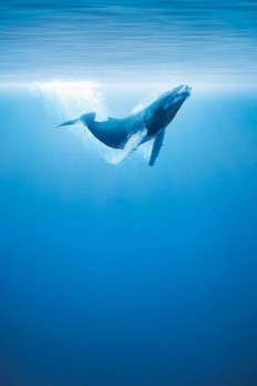 Whale – Underwater Photography on Inspirationde