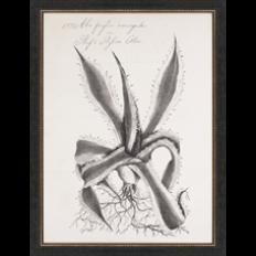 Paragon - Thornton Succulents I