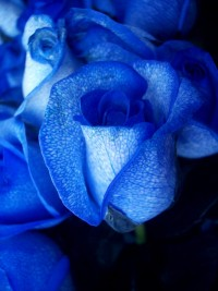 blue_roseartificially_coloured_2.jpg (JPEG Image, 800 × 1066 pixels) - Scaled (79%)