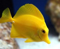 Yellow-Tang-Pictures.jpg (JPEG Image, 350 × 284 pixels)