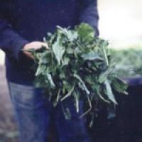 "Woad-incâ""¢: woad growers in England"