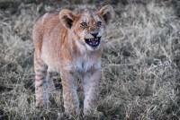 Todos os tamanhos | BOTSWANA - MOREMI NATIONAL PARK - PRIDE OF LIONS SUNSET | Flickr – Compartilhamento de fotos!