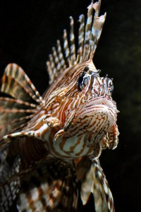 Lion Lion Lion Fish by ~Misty-Dawn