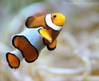 I found NEMO by ~MorganeS-Photographe