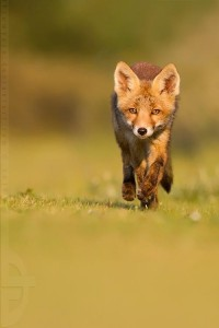 Run, Fox, run... by *thrumyeye