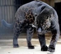 black-panther_1576289i.jpg (620×552)