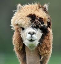 Foto Austria, facce da alpaca per la tosatura di primavera - 1 di 6 - Repubblica.it