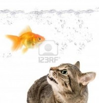 Google ?? http://us.123rf.com/400wm/400/400/rusak/rusak0905/rusak090500202/4926566-angry-cat-and-gold-fish-on-white.jpg ?????