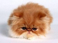 Google ?? http://www.groovythemes.com/animals/angry_cat-med.jpg ?????