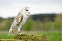 Barn Owl | Flickr - Photo Sharing!