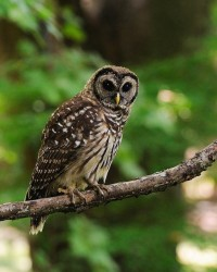Young Owl | Flickr - Photo Sharing!