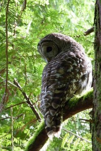Barred Owl 05 | Flickr - Photo Sharing!