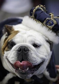 News: Beautiful Bulldog' crowns lucky dog