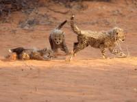 Pictures: Cheetahs of the Kalahari -- National Geographic