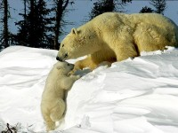 Polar Bear Pictures - Bear Wallpapers - National Geographic