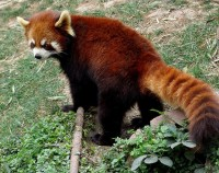 Red Pandas 305 | Flickr - Photo Sharing!