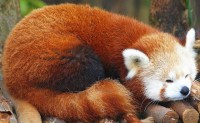 Red Panda at Zoo Atlanta | Flickr - Photo Sharing!