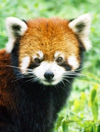 red panda 1 | Flickr - Photo Sharing!
