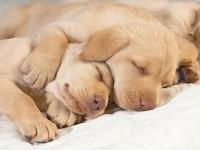 dogs,puppies dogs puppies sleeping 1600x1200 wallpaper – Dogs Wallpaper – Free Desktop Wallpaper