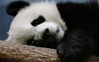 nature,animals nature animals panda bears 2560x1600 wallpaper – Bears Wallpaper – Free Desktop Wallpaper