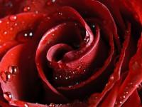 Amazing Red Rose 1024 x 768 Wallpaper | eWallpapers
