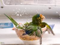 Bathing Parrot - Craized.com