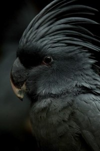 A Look... Into the Darkness... / Black Cockatoo - Simply Gorgeous!