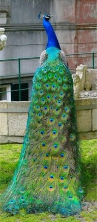 Alfresco Living Spring / Peacock