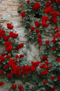 Alfresco Living Spring / red beauties~ I love roses,