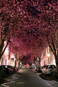 Destinations / Cheery Blossom Avenue in Bonn, Germany