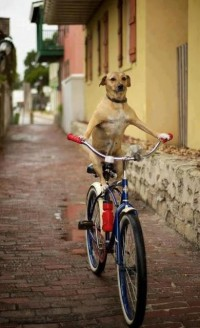 Dog Riding the Bike. | Bicycles