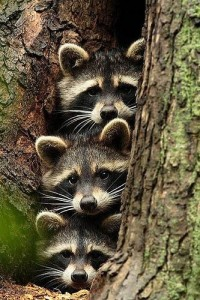 funnies and quotes / Raccoons