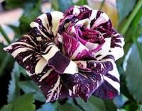 Garden / black dragon rose