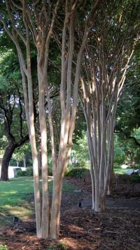 Garden / Pruning Crape Myrtles