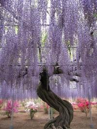 Garden / Wisteria