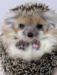 Hedgehog   Animaux